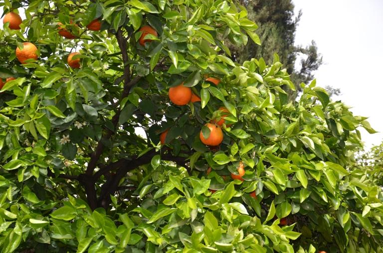 apelsinträd marrakesh