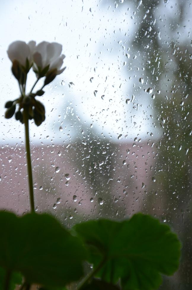 regn orkidé