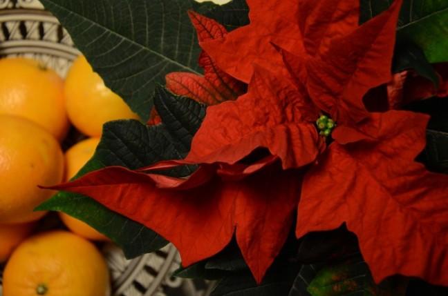 julstjärna och apelsiner