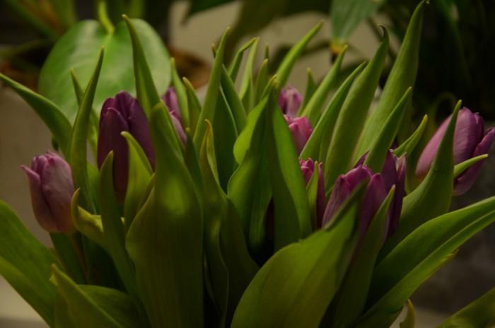 tulpaner lila närbild