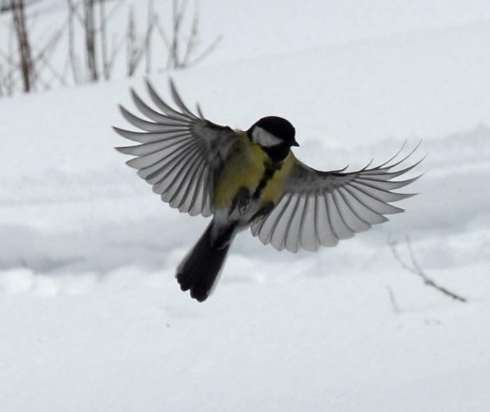 talgoxe flyger närbild
