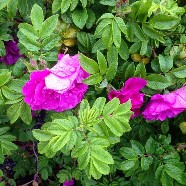 ros i regn